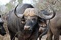 Buffalo, Kruger National Park, South Africa (14800791509).jpg