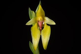 Bulbophyllum amplebracteatum - Image: Bulbophyllum amplebracteatum subsp. amplebracteatum Teijsm. & Binn., Natuurk. Tijdschr. Ned. Indië 24 307 (1862) (36939785245)