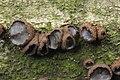 Bulgaria inquinans (36826741754).jpg