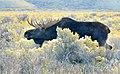 Bull moose during rut on Seedskadee NWR 1 (12980123024).jpg