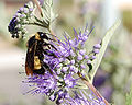 Bumblebee, Albuquerque PP Sharp Low.JPG