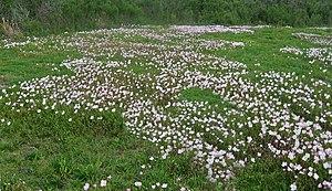 Oenothera speciosa - Image: Buttercups or Pink primrose Oenothera speciosa