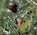 Butterflies @ Evans Creek (284226361).jpg