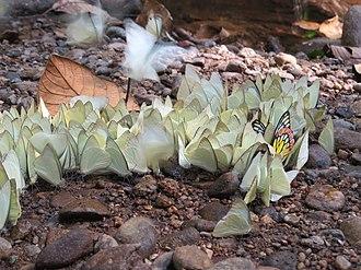 Mud-puddling - Image: Butterflies mud puddling at Aralam Wildlife Sanctuary, Kerala, India (13)