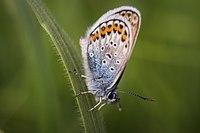Butterflies of Tambov - 001.jpg
