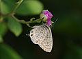 Butterfly Common Zebra Blue.jpg
