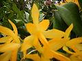 C.Aurantiaca Goldenjf9250 05.JPG