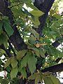 C9-2-Acacia estrophiolata (Ironwood).JPG