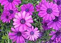 CALIFORNIA - FLOWERS of San Luis Obispo Co (25686836933).jpg