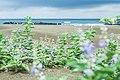 CHIU,CHIH-CHENG 555594031 Taijiang National Park 沙洲與蔓荊.jpg