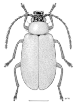 COLE Chrysomelidae Adoxia vulgaris.png