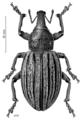 COLE Curculionidae Lyperobius spedenii.png