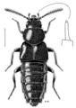 COLE Staphylinidae Aleochara hammondi.png