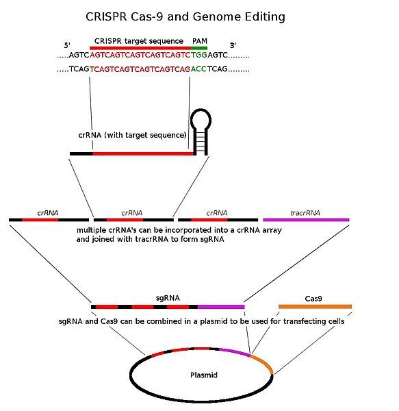 File:CRISPR overview.jpg