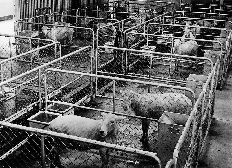 File:CSIRO ScienceImage 10489 Metabolic studies sheep.jpg