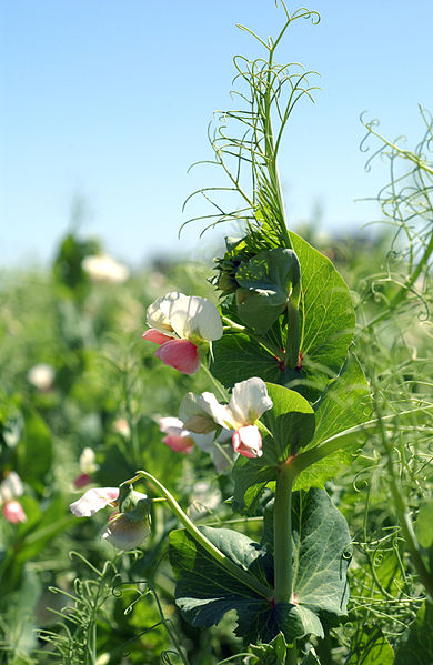 File:CSIRO ScienceImage 3245 Pea plants in flower.jpg