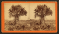 Cabbage palmetto, from Robert N. Dennis collection of stereoscopic views 4.png
