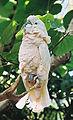 Cacatua moluccensis (13004538953).jpg