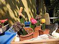 Cactus grafting-1-shevaroy nursery-yercaud-salem-India.jpg