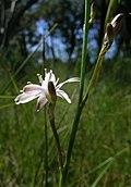 Caesia parviflora flower8 (8409647166).jpg