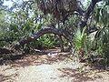 Caladesi trail oak.jpg