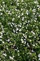 Calamintha nepetoides White Cloud 2zz.jpg