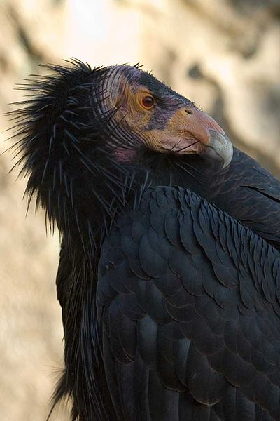 californiacondor.jpg