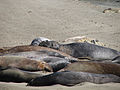 California Elephant Seals (4889348553).jpg