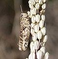 Calliptamus species (33052664192).jpg