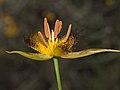 Calochortus obispoensis - Flickr 004.jpg