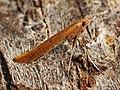 Caloptilia ?betulicola - Red birch slender - Тощая моль берёзовая (28149556748).jpg