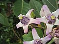 Calotropis gigantea - Crown Flower at Peravoor 2014 (12).jpg
