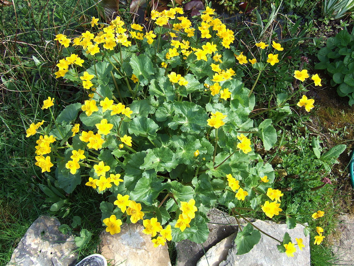 Caltha Palustris Wikipedia