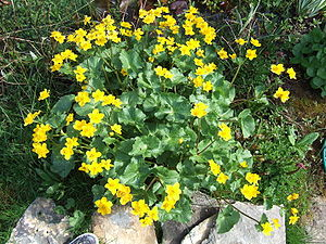 Caltha palustris - Image: Caltha palustris plant