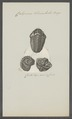 Calymene blumenbachii - - Print - Iconographia Zoologica - Special Collections University of Amsterdam - UBAINV0274 099 01 0003.tif