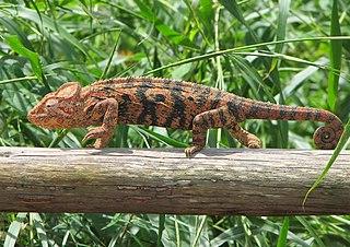 Das Chamäleon  passt sich jeder Umgebung an. (Quelle: wikipedia.de)