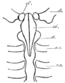 Cambridge Natural History Mammalia Fig 023.png