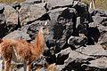 Camelido - Lama guanicoe.jpg