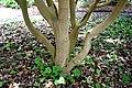 Camellia crapnelliana in Auckland Botanic Gardens 01.jpg