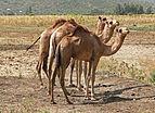 Camels in Ethiopia 01.jpg