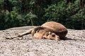 Camelus dromedarius - Serengeti-Park Hodenhagen 2017 01.jpg