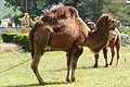 Camelus dromedarius près de Mérindol.JPG
