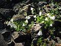 Campanula cochleariifolia white 4.jpg