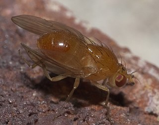 <i>Camptoprosopella</i> Genus of flies