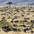 Can you spot the wildebeest ? (14684847837).jpg