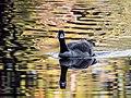 Canada Goose on Hirschman's Pond - Flickr - larry^flo.jpg