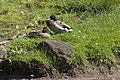 Canard colvert (Anas platyrhynchos) couple -3.jpg
