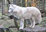 Canis lupus arctos qtl1.jpg