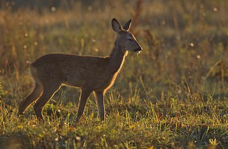 Roe deer - Roe deer in a grassland area