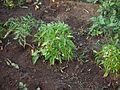 Capsicum frutescens (5287183987).jpg